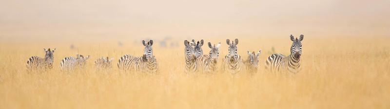 Zebra herd in long grass plains,  Serengeti National Park