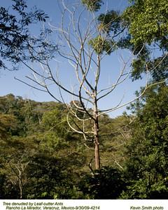LeafCutterAntDamage4214.jpg