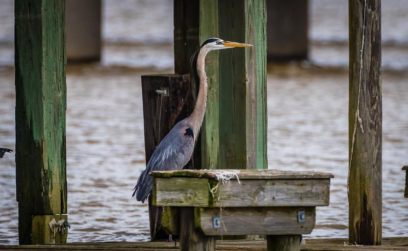 Blue Heron old dock 2 062417-1.jpg