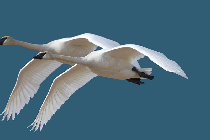 Trumpeter Swans, Carver Park