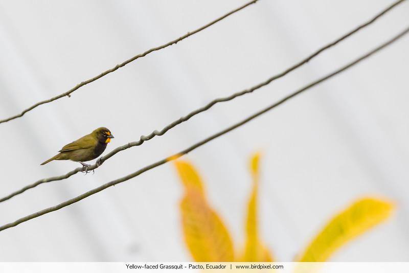 Yellow-faced Grassquit - Pacto, Ecuador
