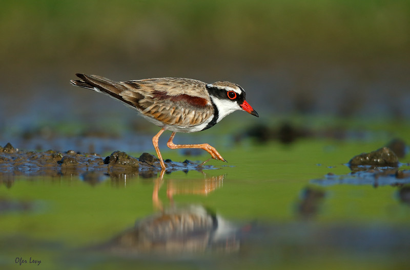Black-fronted Dotterel 3.jpg