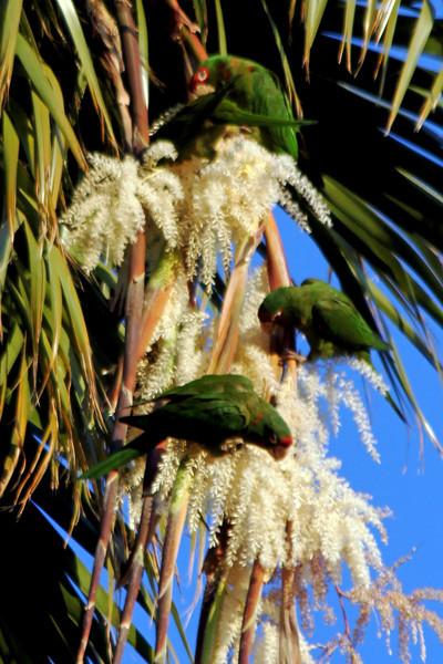 IMG_6441 red-crowned parrots LA.jpg