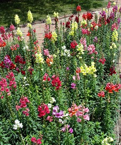 lets-get-ready-to-plant-coolseason-annuals