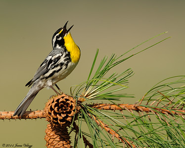 Yellow-throated Warbler, Dendroica dominica