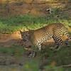Leopard in Yala national park, Sri Lanka