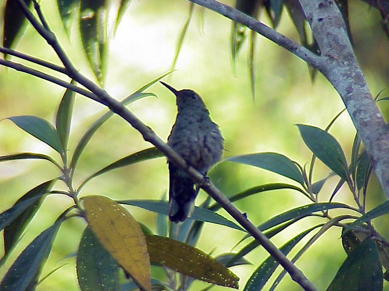 Scaly-breasted Hummingbird at Talari Mountain Lodge Costa Rica 2-16-03 (50898266)
