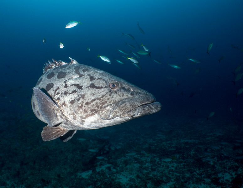 Potato Bass Grouper