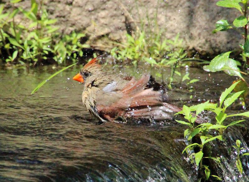 Cardinal bathing 3