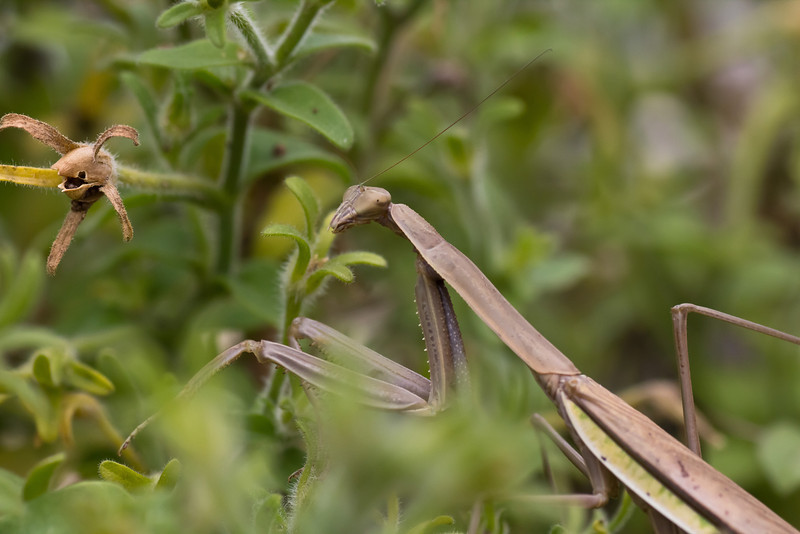 praying mantis-16_September 19, 2011.jpg