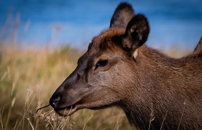 Elk baby blue water 091918.jpg