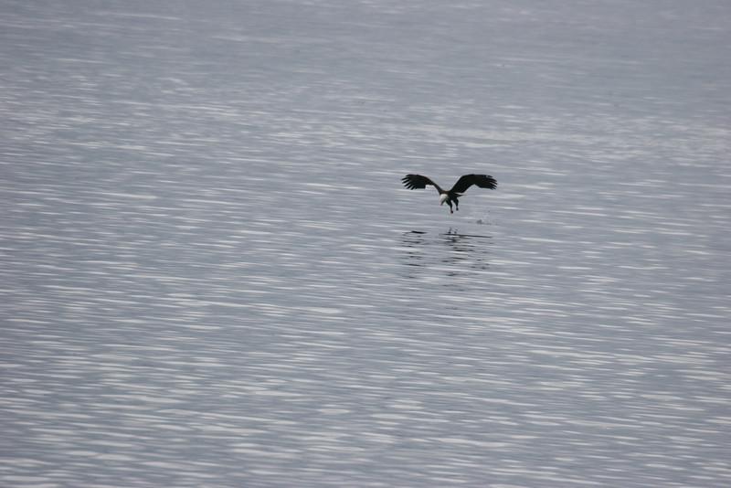Bald Eagle fishing or just admiring himself?