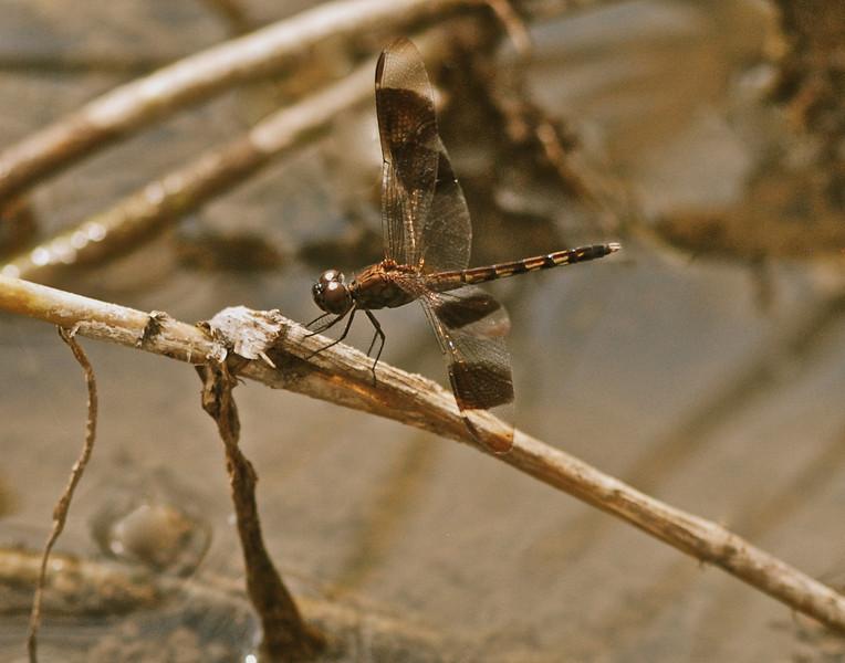 Banded Dragonfly, Guyana, South America