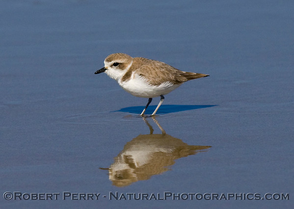 SNOWY PLOVER and SEMIPALMATED PLOVER