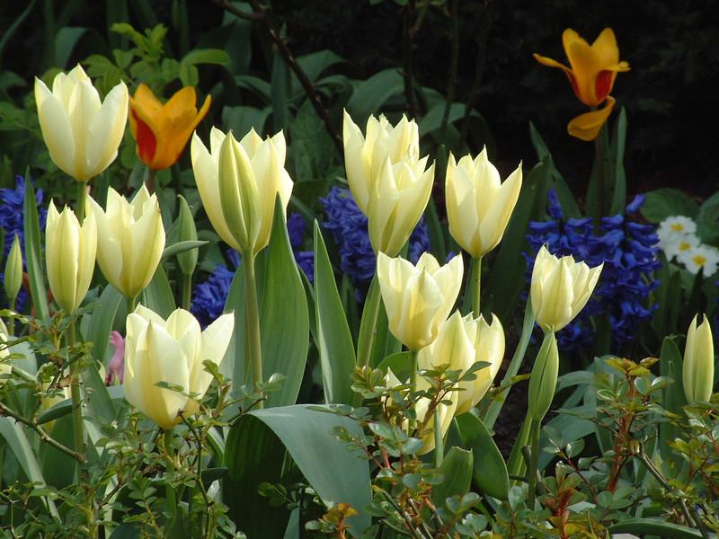 tulips 1280.jpg