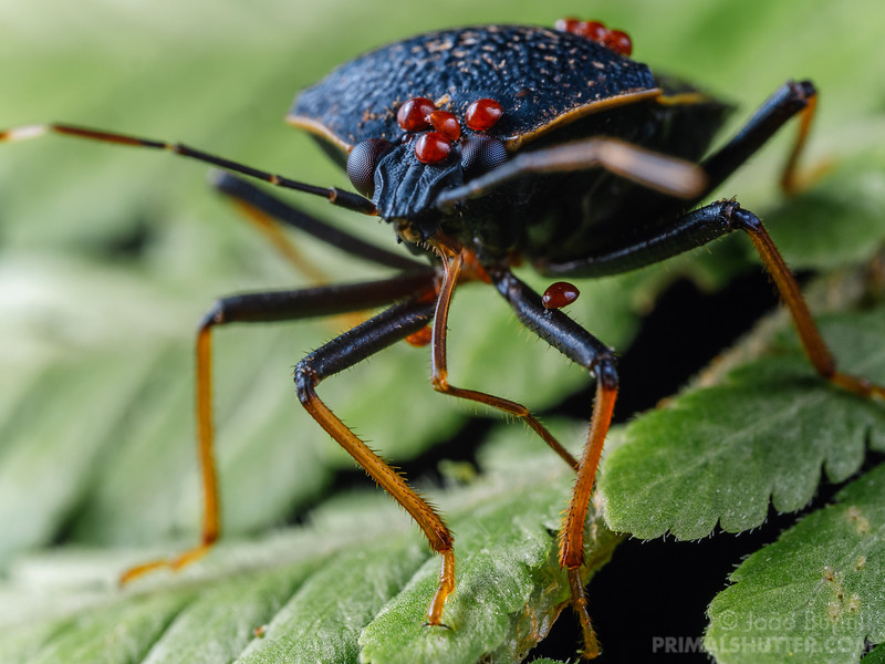 Shield bug carrying mites