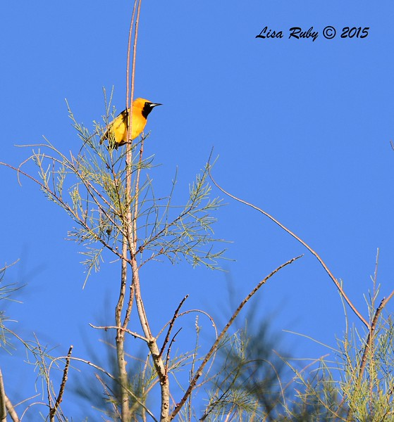 Hooded Oriole - 4/5/105 - Agua Caliente campground