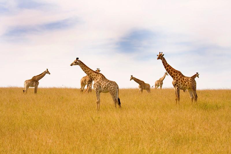 Herd of giraffes resting on the plains