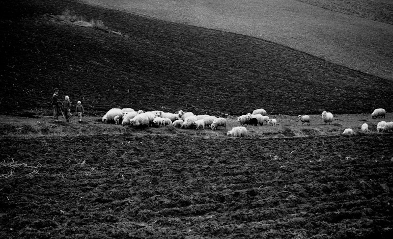 sheparding the flock v1.1.jpg