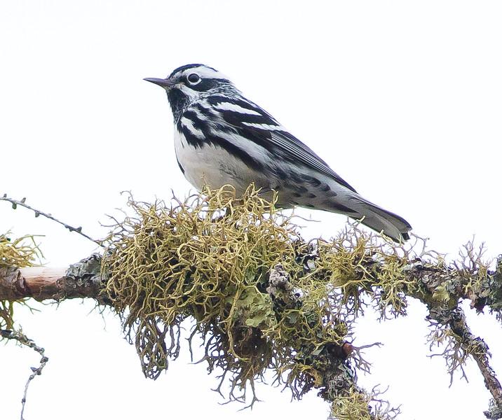 Black-and-white Warbler Wednesday Sax-Zim Bog MN-07165.jpg