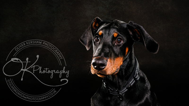 Ace the Doberman