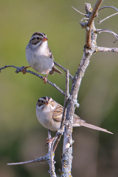 Sparrow - Clay-colored - Itasca County, MN - 03