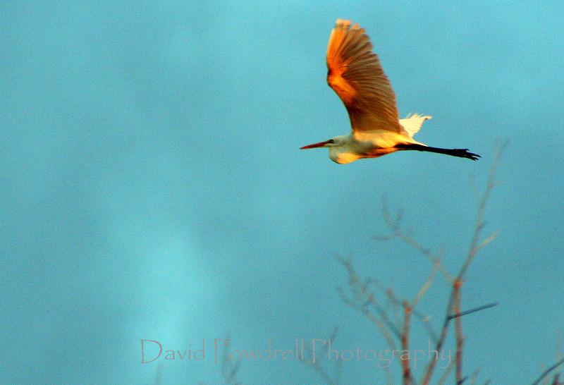 Egrit in flight-sun on wings-2.jpg