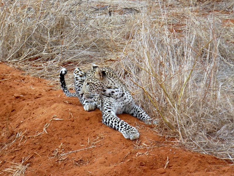 Leopard Tsavo East.jpg