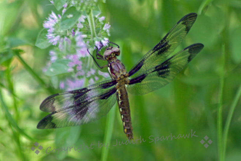 Common Whitetail-Female ~ This female dragonfly was resting on these flowers, near Lost Lake, out of Fresno, California.