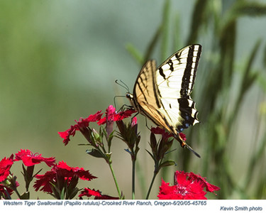 WesternTigerSwallowtail45765.jpg