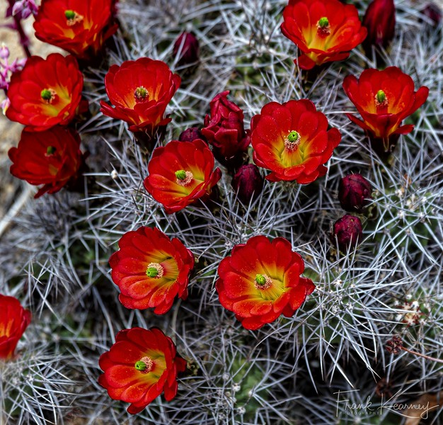 Cactus Rose - Joshua Tree National Park.jpg