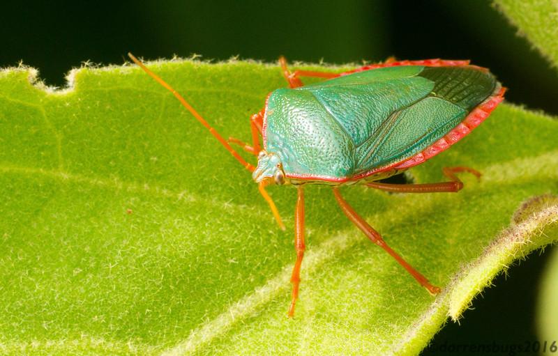 A beautiful stink bug (Edessa sp., possibly E. rufomarginata) from Panama.