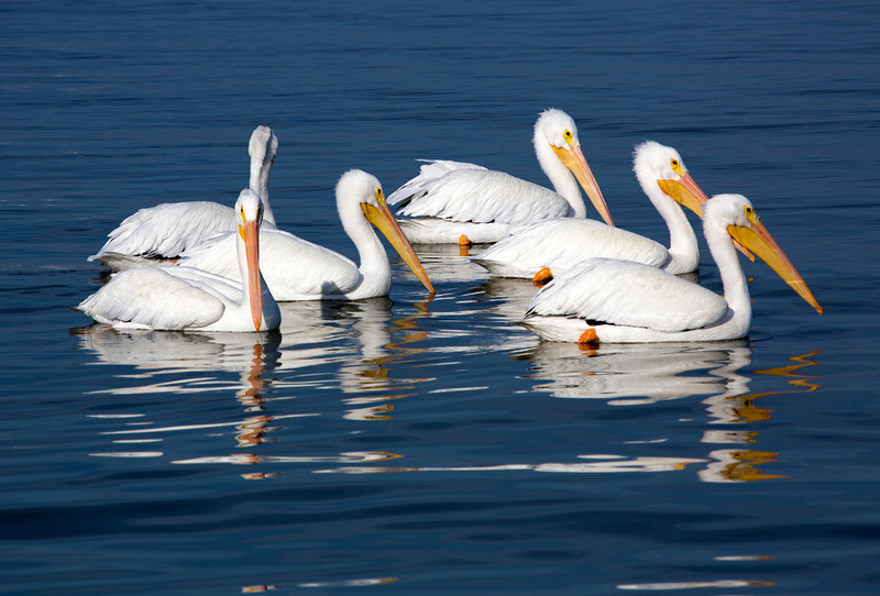 More of the White Pelican group.
