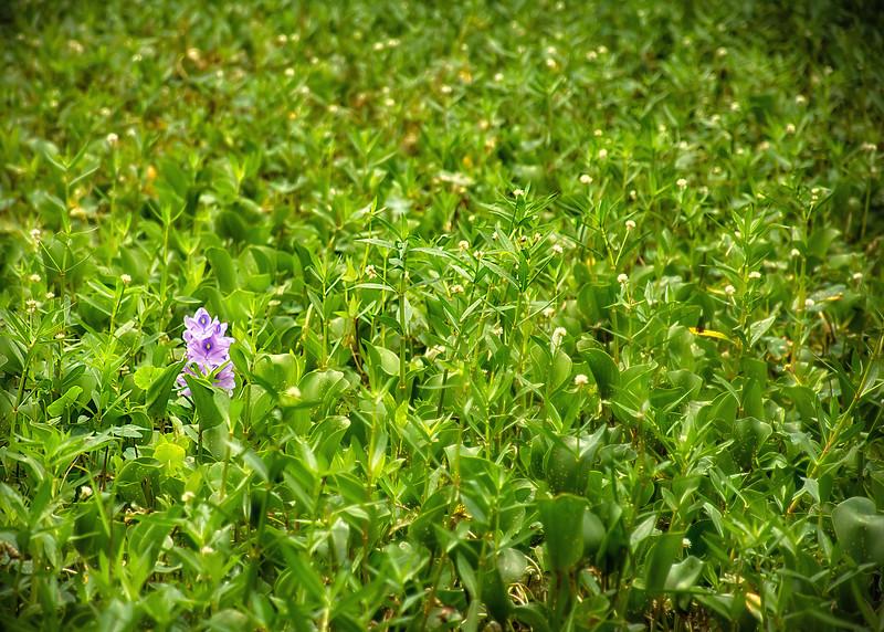puple swamp lilly-2.jpg