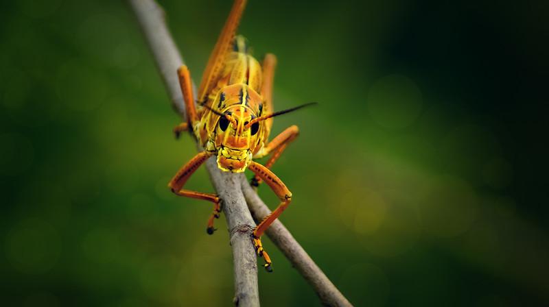 Grasshoppers 10.jpg