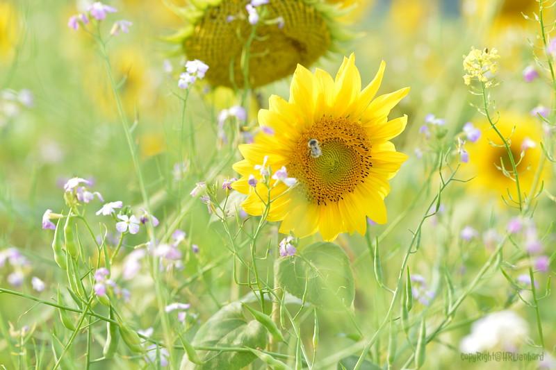 Sunflower Lonay_20092020 (28).JPG