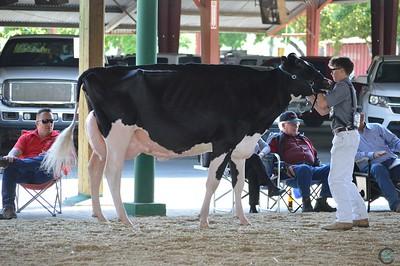 CA State Holstein SR Cow Show 2017