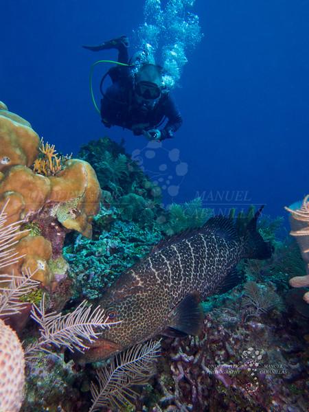 Tiger Grouper (Mycteroperca tigris), Roatan, Bay Islands, Honduras Olympus OMD EM5 MkII, Zuiko 12-50mm lens open @24mm, Nauticam Housing, Dual Inon Z-240 Strobes. Settings 1/125, f/9, ISO200