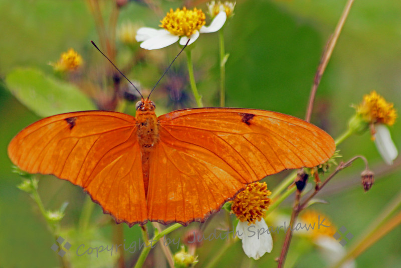 Julia Heliconian Butterfly ~ This female Julia was the most common butterfly I saw in the Everglades and on Key Largo.  I had only seen it in special butterfly exhibits before, and it was wonderful seeing them flying wild and free in Florida.