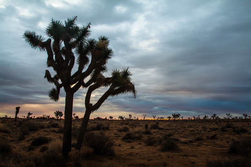 Joshua Trees at dawn