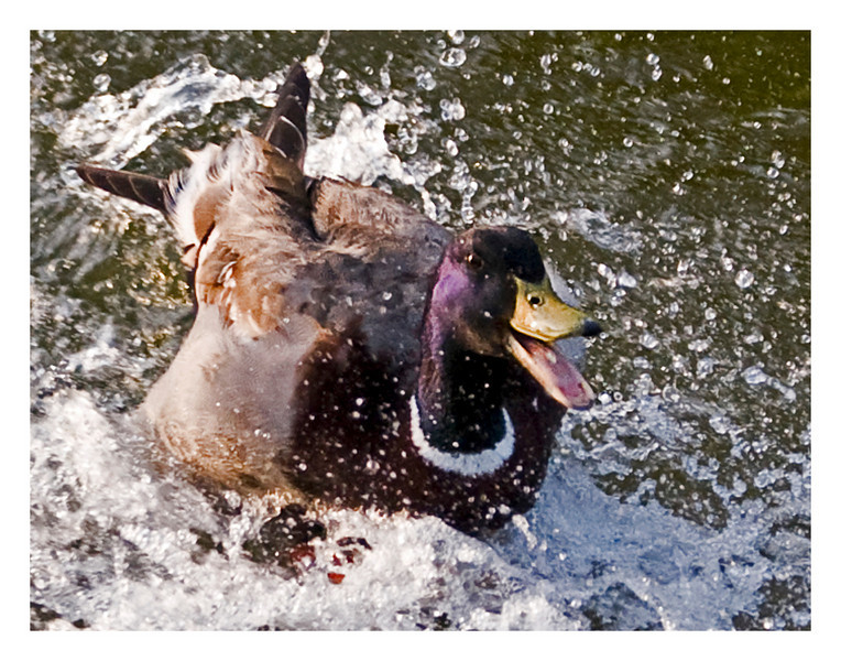 Happy Duck9060.jpg