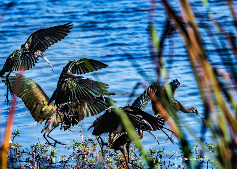_DSC4878WHITE-FACED IBIS.jpg