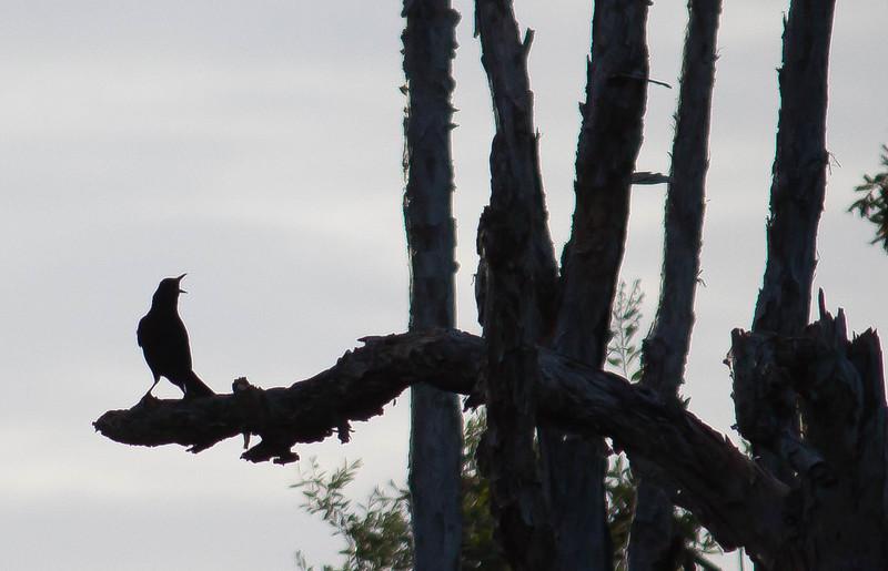 crow-2.jpg