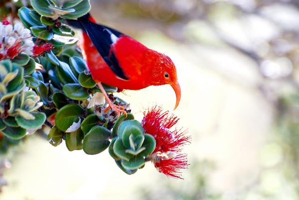 Maui's forest birds