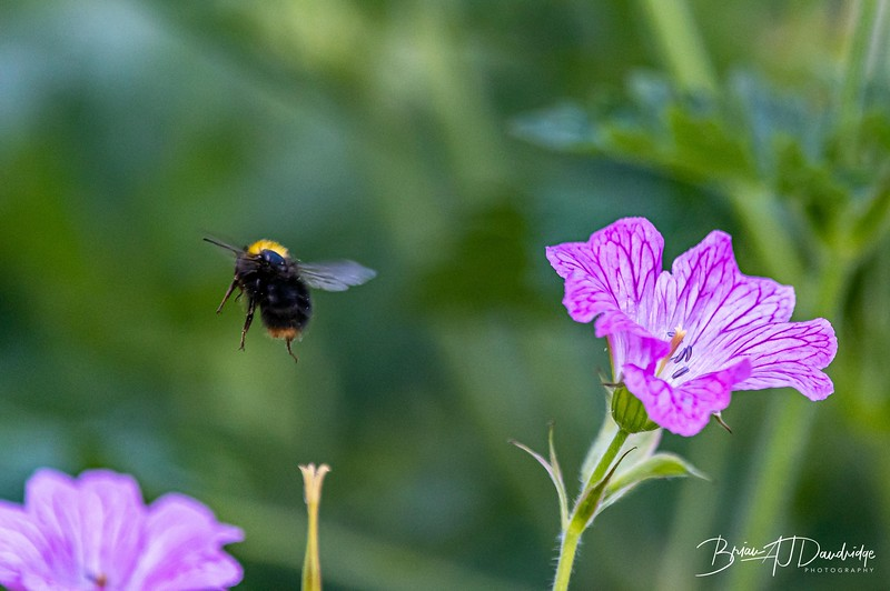 Garden Bees-3604.jpg