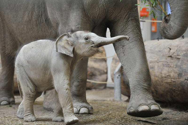 . A baby elephant walks throuh its enclosure at the Tierpark Hellabrunn zoo in Munich, southern Germany, on December 9, 2011. The animal was born at the zoo three months ago.     (ANDREAS GEBERT/AFP/Getty Images)
