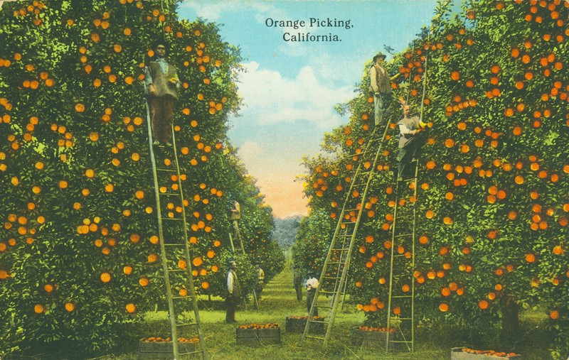 Orange Picking