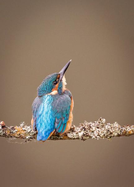 Kingfisher looking up.jpg