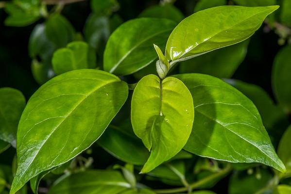 Hangehange - Geniostoma ligustrifolium