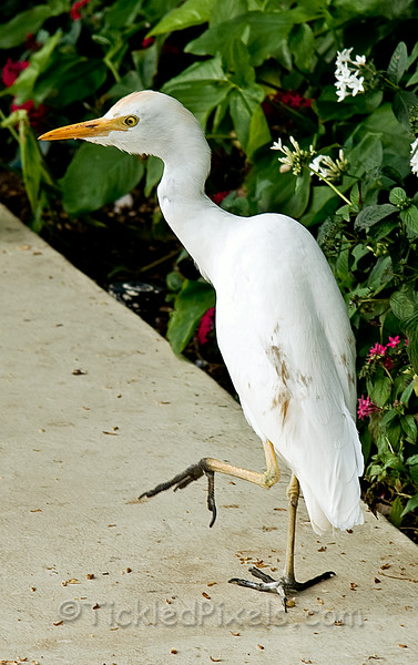 Cattle Egret does the Hula